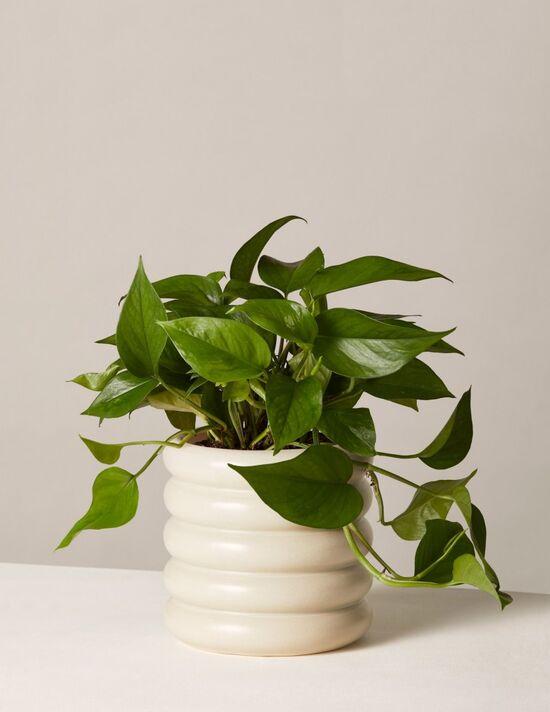 Jade Pothos - Plant & Planter