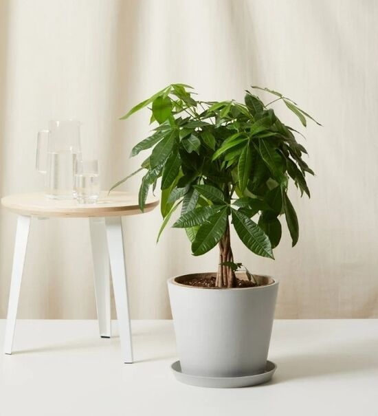 Buy Large, Potted Money Tree Indoor Plant | Bloomscape
