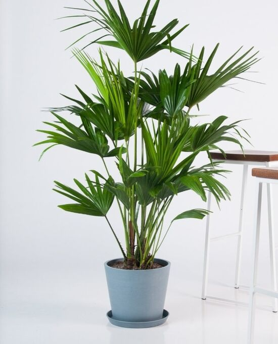 Large Chinese Fan Palm Plant - Bloomscape