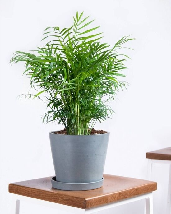 Potted Parlor Palm Plant - Bloomscape